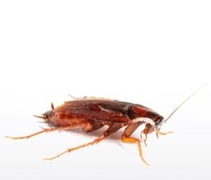 Kakkerlakken bestrijdingsmiddelen
