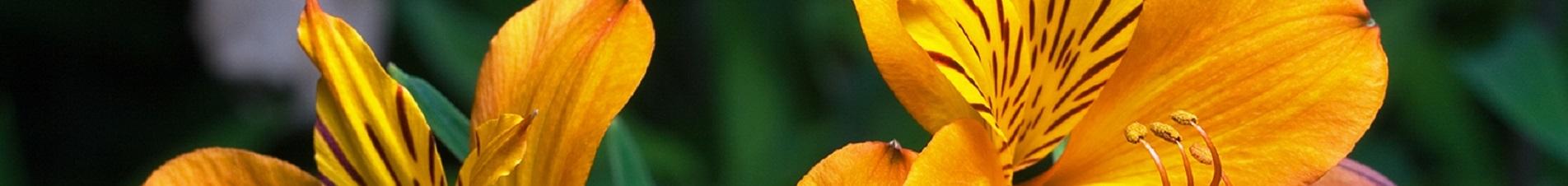 bloemen versturen naar  alstromeria's