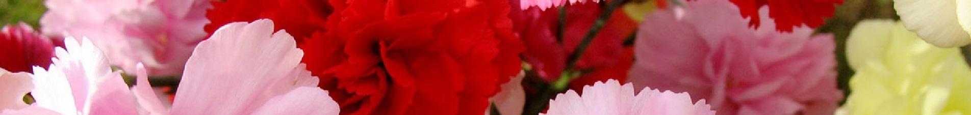 bloemen versturen naar  anjers