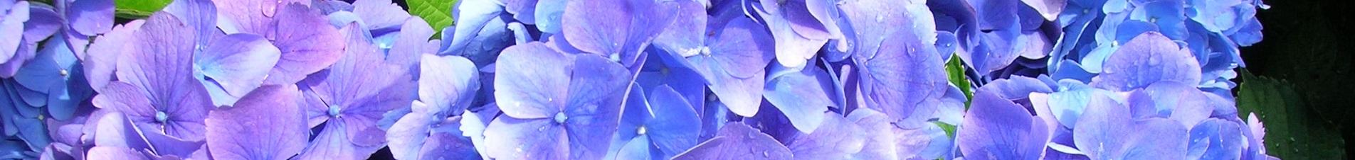 bloemen versturen naar  hortensia