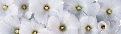 witte bloemen