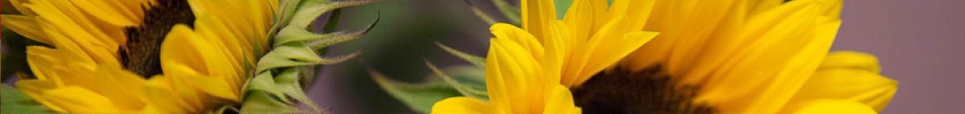 bloemen versturen naar  zonnebloemen